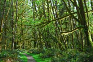Quinault Rainforest Path - Landscape